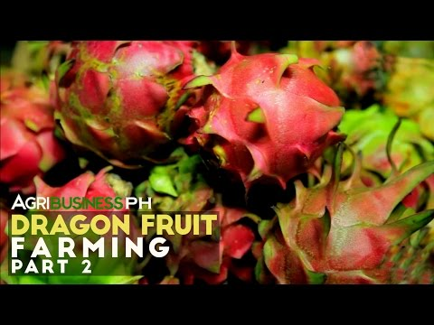 Dragon Fruit Tree Part 2 : How to grow a Dragon Fruit Tree   Agribusiness Philippines