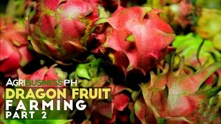 Dragon Fruit Tree Part 2 : How to grow a Dragon Fruit Tree | Agribusiness Philippines