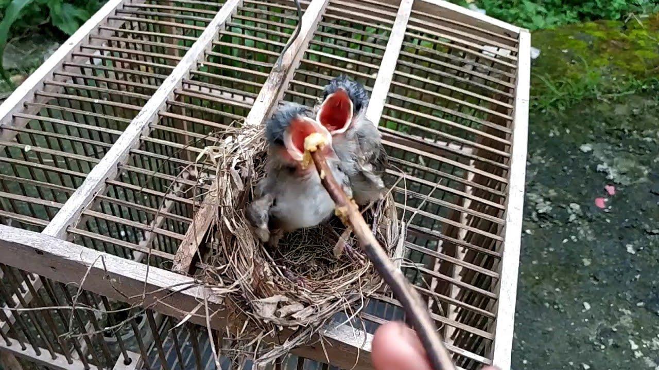 Memberi Makan Anak Burung Kutilang Youtube