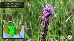 Pollinator Plant Profile: Gayfeather and Blazingstar