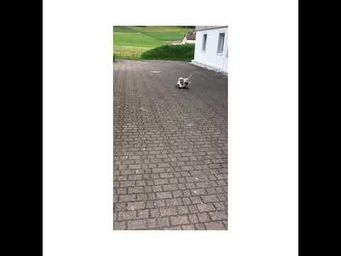 Bedlington Terrier Arthur