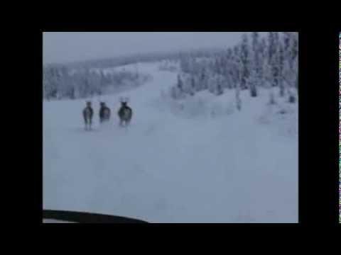 wild animals in yukon territory canada - moose, caribou, bison