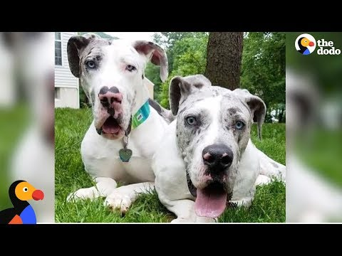 Great Dane Brothers Have Each Other To Lean On - QUINN & GRAY | The Dodo