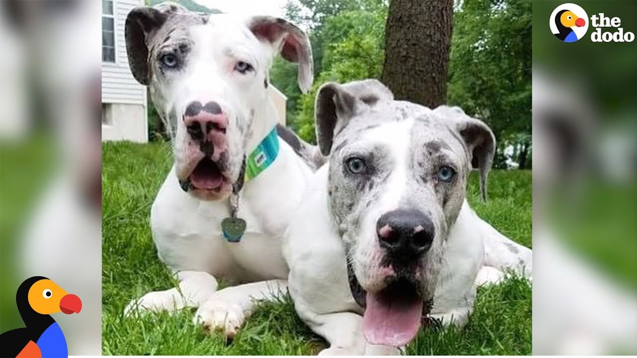 Great Dane Brothers Have Each Other To Lean On - QUINN & GRAY