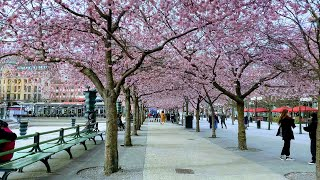 Stockholm Walks: Cherry blossoms in Kungsträdgården 2020, short version
