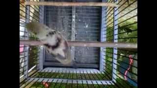Kolibri Ninja trotol gacor