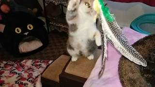 Pru the Exotic Shorthair in slow motion with the new lure toy
