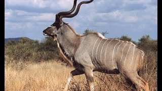 Man vs Africa Kudu Hunting
