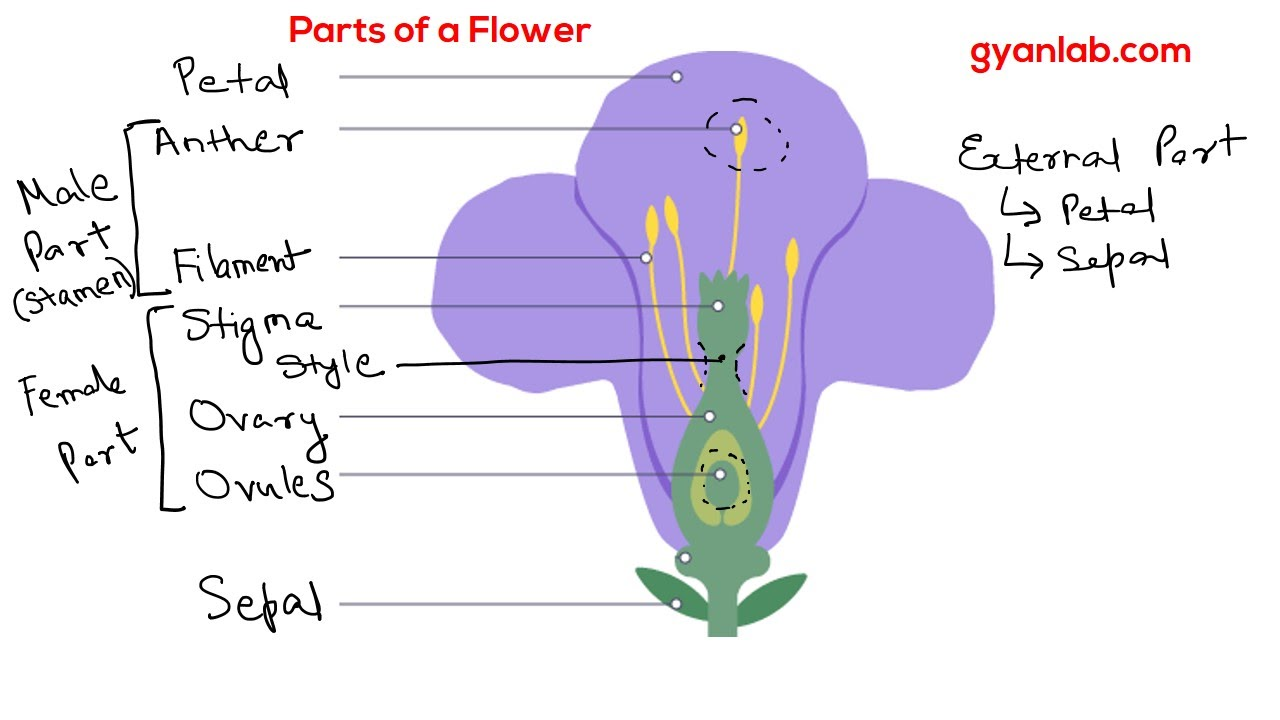 Parts of a flower youtube pooptronica Images