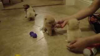 Super Cute Teacup Maltipom Maltese Mix Pomeranian Puppies At Www.beminepuppy.com Video 2