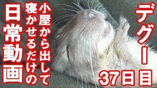 デグー「寝かしつけるところ」(ベタ慣れ)degu sleep#0035
