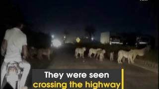 Watch: Pride of lions spotted at Pipavav-Rajula National Highway - ANI News