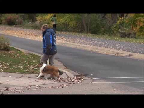 Riggs (Sheltie) Boot Camp Dog Training Video