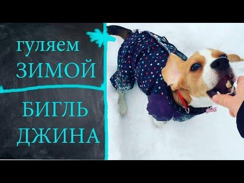 ПРОГУЛКА В СОЛНЕЧНЫЙ МОРОЗНЫЙ ДЕНЬ///БИГЛЬ ДЖИНА