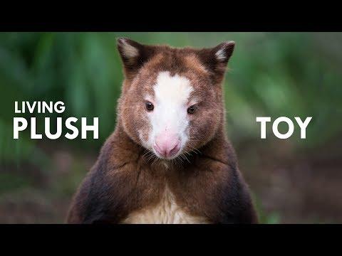 Tree Kangaroo: The Living Plush Toy