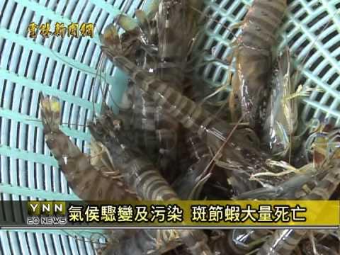 雲林新聞網- 臺西大雨斑節蝦死很大 - YouTube