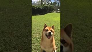 Shiba Inu hops like a bunny