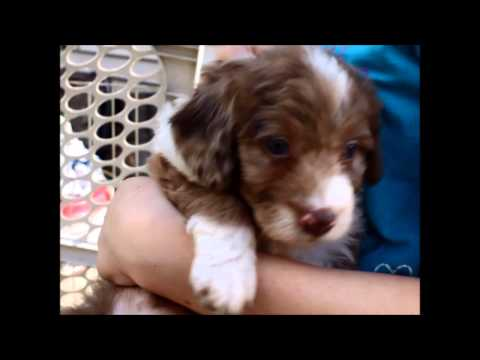 Bella,  Edward, and Leah - Miniature F1 Aussiedoodles - Part ll