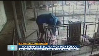 Surveillance video: Baby pig stolen from George Jenkins High School agriculture barn