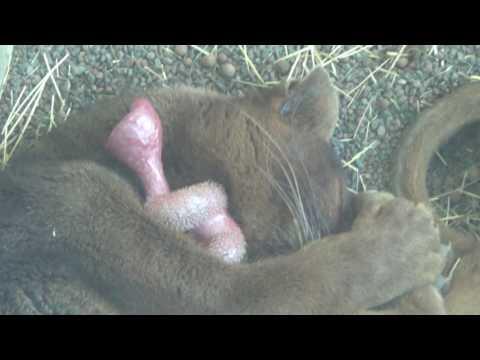Cute Sleeping Fossa