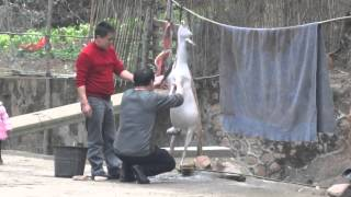 3 Preparing a Slaughtered Goat in China Farmland (Graphic?)