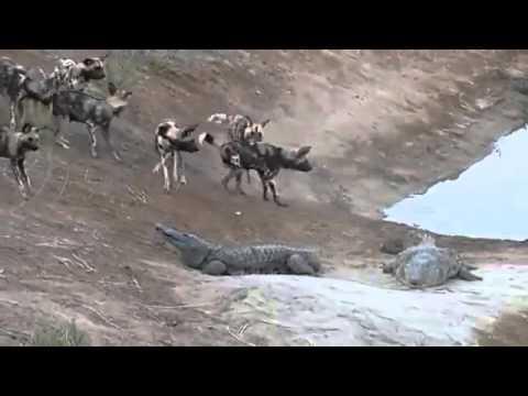 Perros Salvajes atacan a  2 Cocodrilos Gigantes