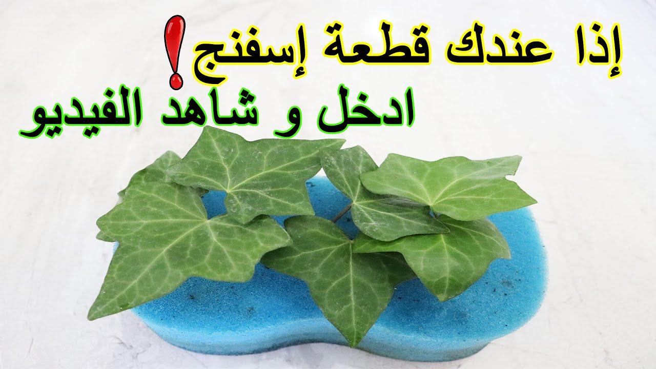 الزراعة و تجذير النباتات في الاسفنج