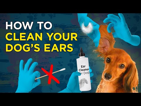 How to Clean Your Dog's Ears - VetVid Episode 003