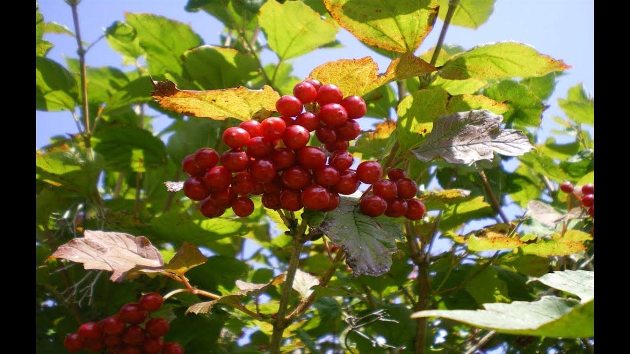 Resultado de imagen para Plantas y frutos silvestres comestibles