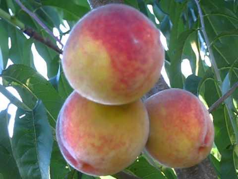 Сорт яблони Джонатан фото, отзывы, описание, характеристики