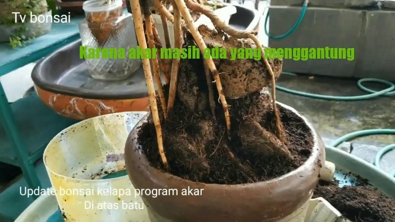 Update Bonsai Kelapa Akar Tembus Batu 3 Bulan Program