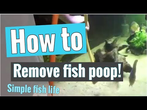 How To Remove Fish Poop From Aquarium