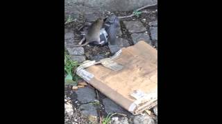 NYC Rats are no joke- Devours pigeon!