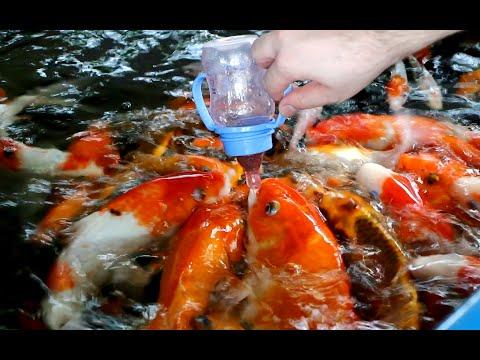 Baby bottle feeding koi fish youtube for Feeding koi fish