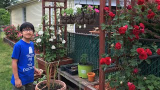 Gorgeous Knock Out Roses: Reasons Why You Should Consider Planting Them - Gardening Ideas With Aiman