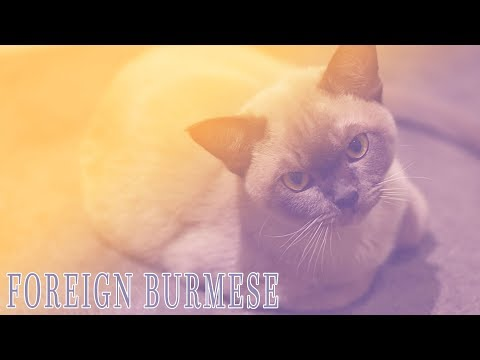 Ideal Companion: Foreign Burmese | Cat Breeding Videos
