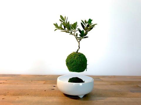Air Bonsai | Planting
