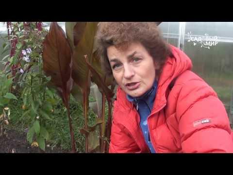 Как посадить пион осенью
