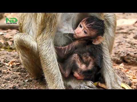 Pity Poor Newborn Baby Monkey Get Hurt Because Of Bad Mom , Nature Daily
