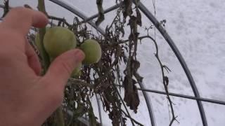 видео: заглубленная теплица без обогрева 29 10 16 Белгород