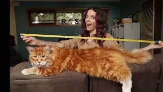 Самые большие породы кошек в мире