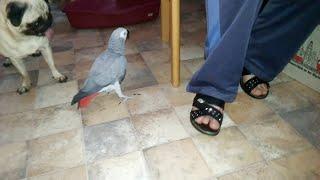 Наблатыканный попугай матершинник говорит с хозяином и ругается попугай Жако ругается