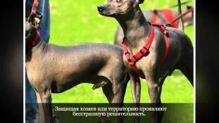 Ксолоитцкуинтли мексиканская голая собака Средние породы собак