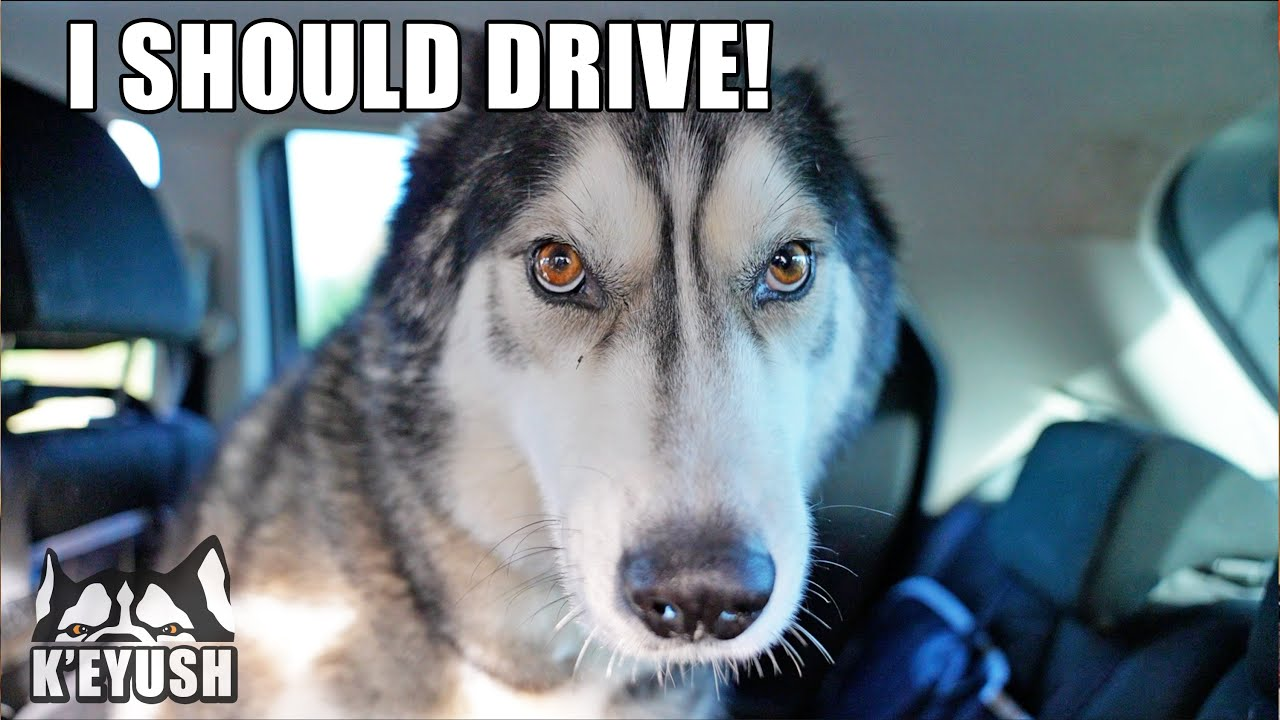 Husky BEEPS Horn Trying to Drive the CAR!