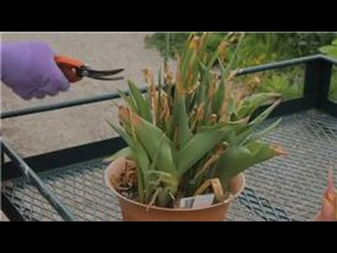 Growing & Storing Plant Bulbs : What to Do With Tulip Bulbs After Flowering