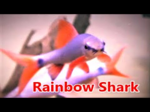 How To Care For Rainbow Shark In Community Tank & Compatible Tank Mates
