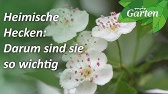 Statt Thuja: Warum Sie heimische Hecken pflanzen sollten | MDR Garten