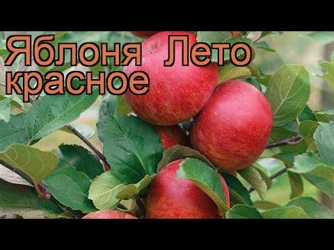 Яблоня красный Лето красное (malus) 🌿 Лето красное обзор: как сажать, саженцы яблони Лето красное