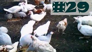 #29 - Kury, kaczki, perliczki // chickens, ducks, guinea fowl