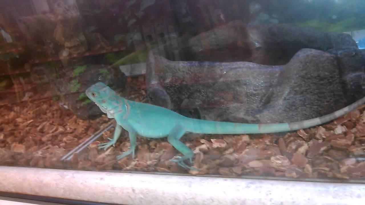 Worlds Biggest Blue Iguana